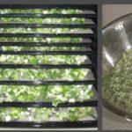 Cách làm hành lá sấy khô tại nhà rất dễ dàng, đảm bảo chất lượng