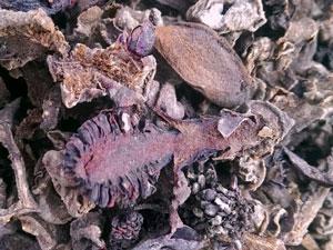 Nấm ngọc cẩu khô, cách sấy khô và bảo quản nấm ngọc cẩu