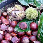 Hạt dẻ sấy khô, cách sấy khô hạt dẻ bảo quản lâu dài