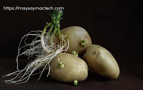 Tác hại của khoai tây - ăn mầm khoai tây có thể dẫn đến ngộ độc