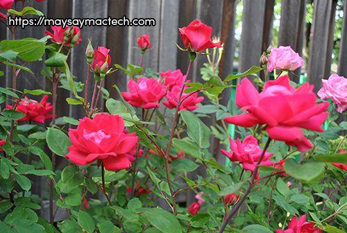 Tự làm trà hoa hồng tại nhà