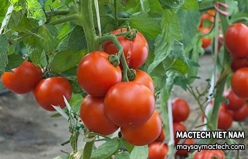 Những tác hại không ngờ của cà chua