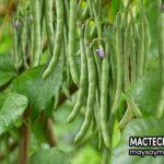 Lợi ích không ngờ từ quả đậu que (đậu cove – green bean)