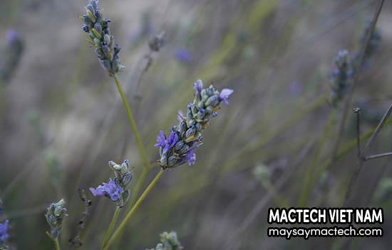 Hoa Lavender có nhiều tác dụng chữa bệnh rất tốt
