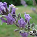 Hoa oải hương (Lavender), một loại dược liệu có nhiều công dụng
