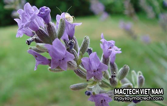 Hoa Lavender, một loại dược liệu có nhiều công dụng