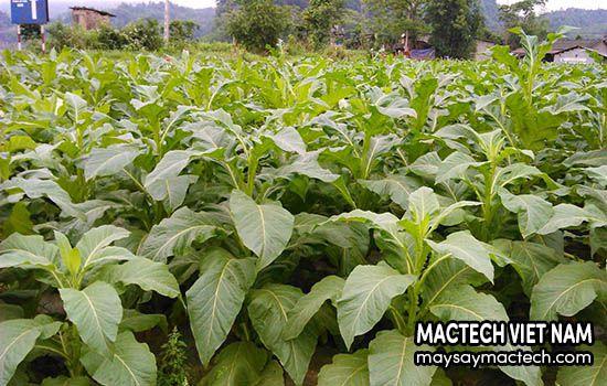 Cây thuốc lá có tác hại gì, nên hiểu rõ trước khi trồng