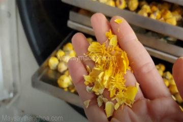 Hoa trà vàng sấy như nào để giữ nguyên bông và màu sắc